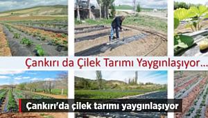 Çankırı'da Çilek Tarımı Yaygınlaşıyor
