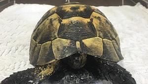 Zifte Bulaşan Kaplumbağa, Çankırı Belediyesi ile Hayata Döndü